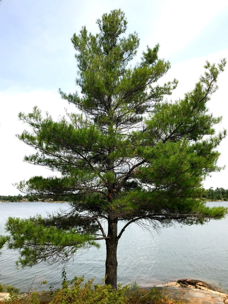 A mature Eastern White Pine tree growing by the lake.