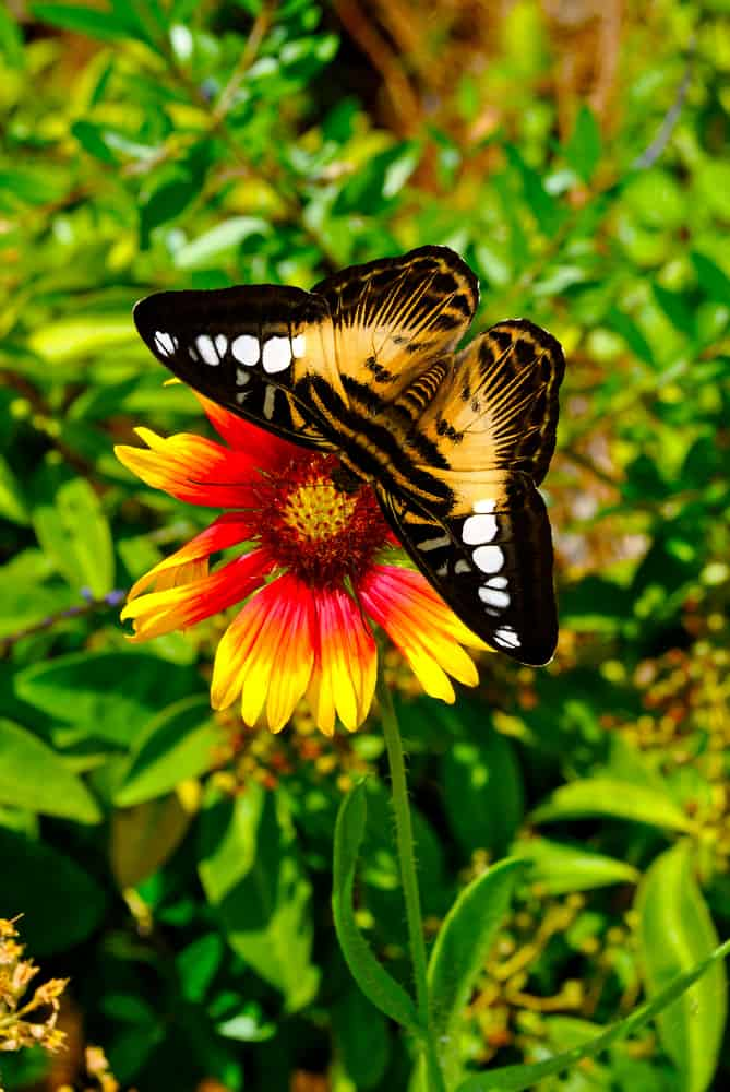 single red and yellow blanket flower growing in a garden with a stunning butterfly sitting on the flower head