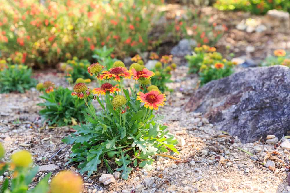 lovely bunch of growing blanket flowers in a rocky garden with blurry plants in the background