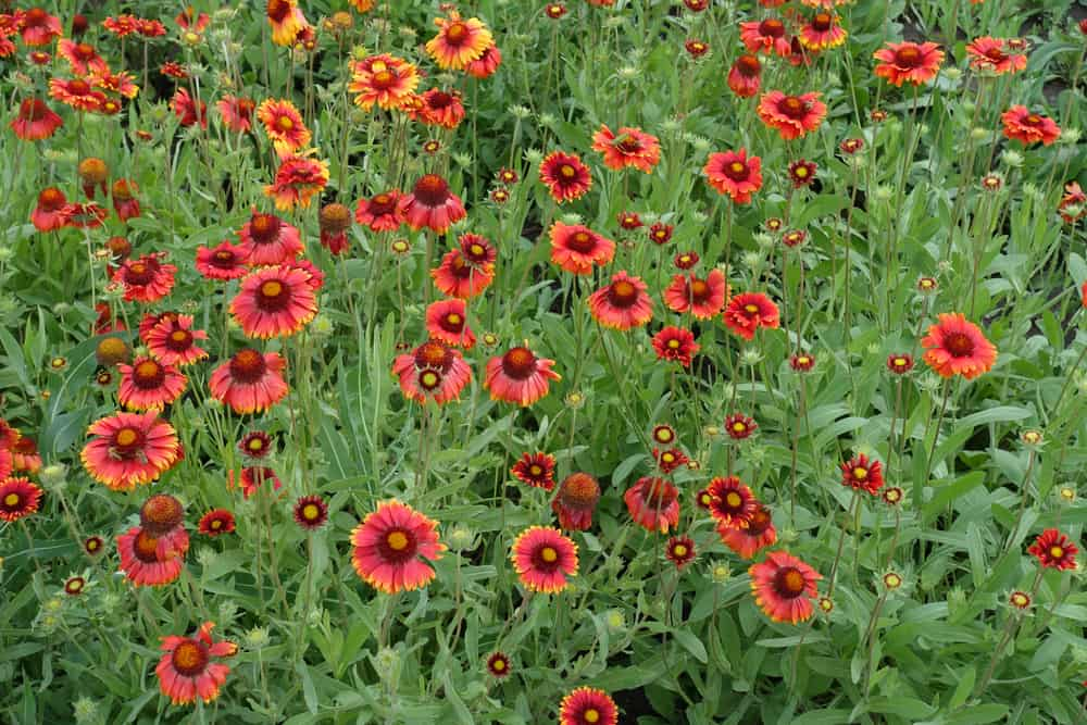 patch of blanket flowers completely covering a garden area with bright red flower heads and lovely green foliage