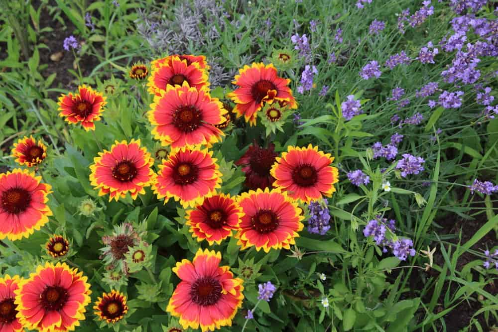 looking down at beautiful red blanket flowers with yellow tips growing next to purple flowers in a spring garden