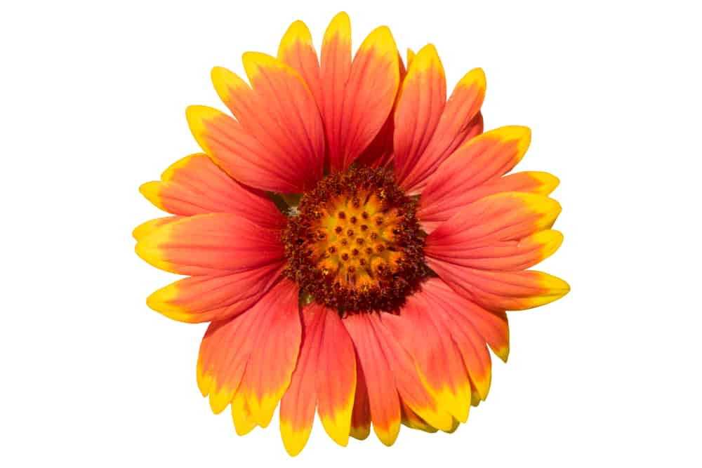 single blanket flower head in red and yellow on an isolated white background
