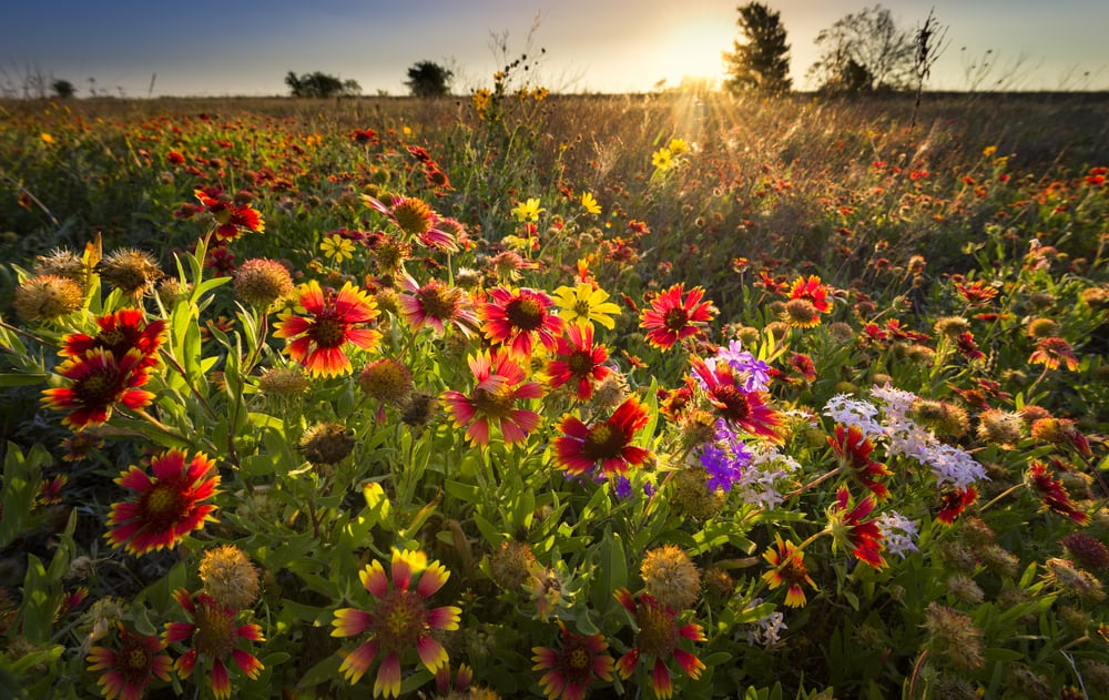 incredible spray of blanket flowers growing in a large meadow and sun setting over the horizon