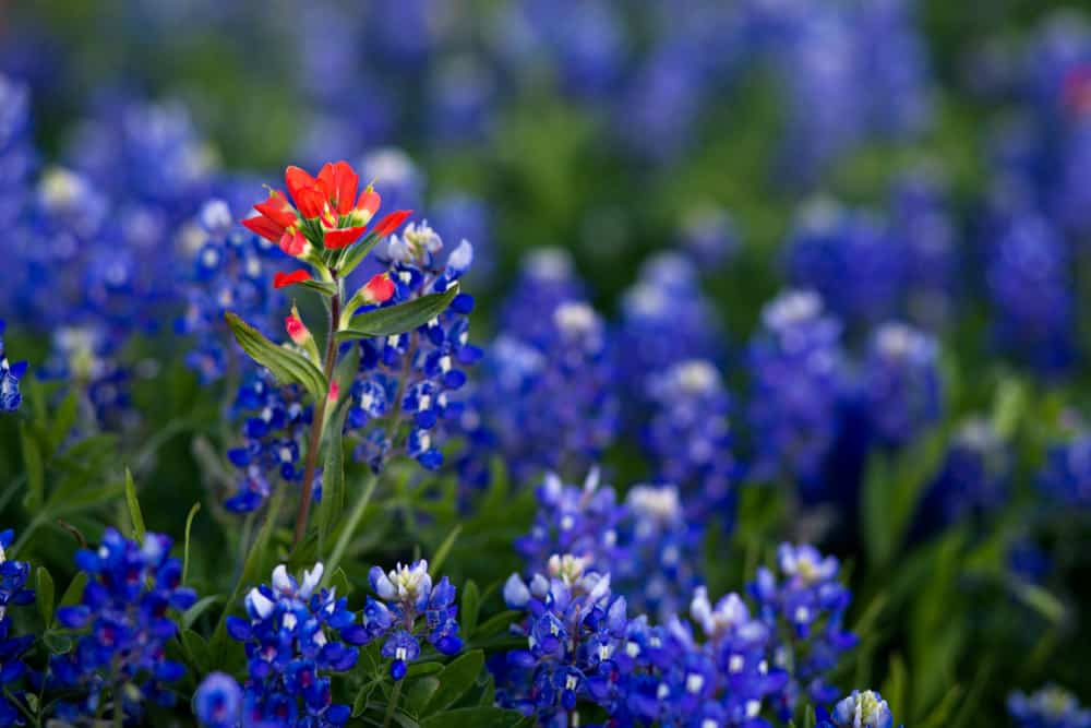 Beautiful bright bluebonnet flowers growing in a cluster with one indian paintbrush flower