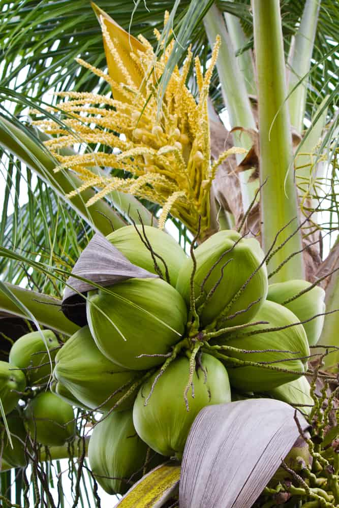 incredible yellow palm tree flowers growing behind green ripening coconuts on top of a coconut palm tree