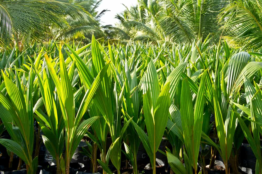very young coconut palm trees growing in plantation