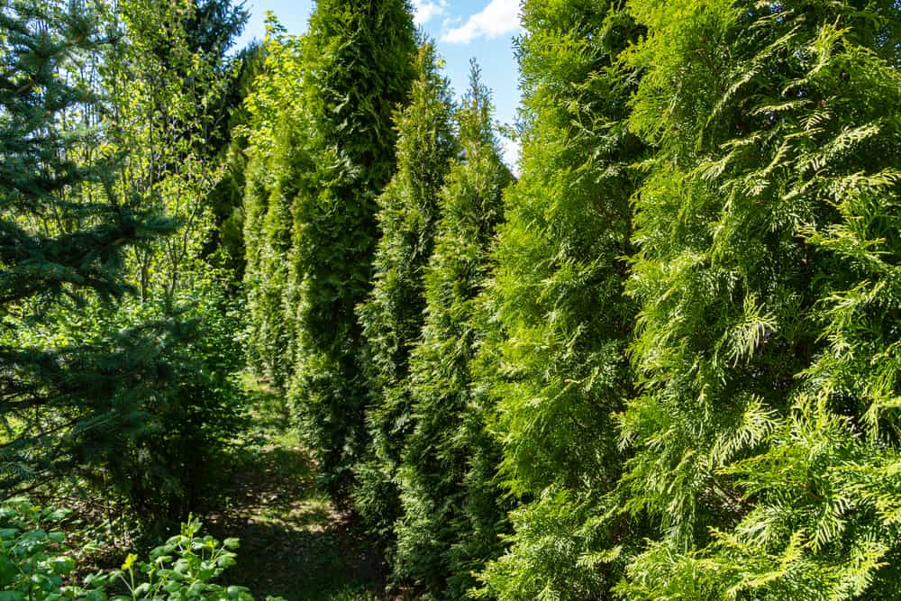 This is a row of growing northern white cedar trees in a hedge in a large garden.