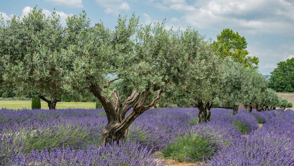 beautiful and mature olive trees with gnarled trunks growing in rows with lavender bushes growing underneath them