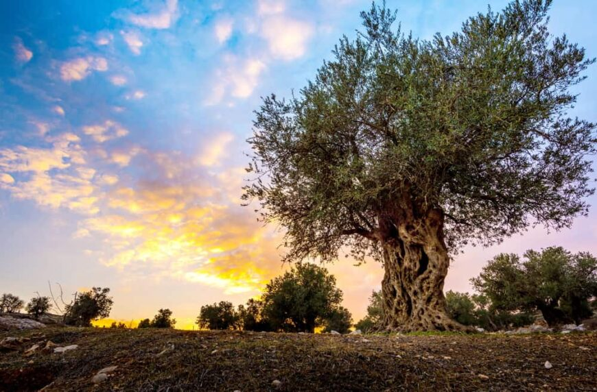 extremely old and gnarled olive tree with huge crown growing in beautiful landscape at sunset