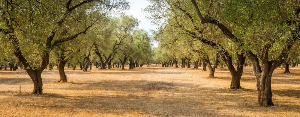 grove of healthy and mature olive trees all growing in rows in dry soil conditions