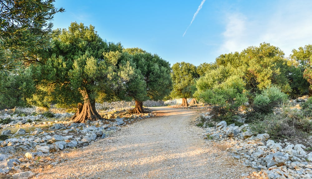 wild olive trees with huge gnarled trunks and dense crowns growing next to a pathway and rocky soils