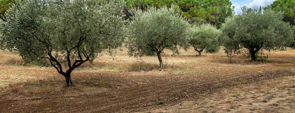 Grove of young olive trees growing in rows with round crowns growing in dry soil