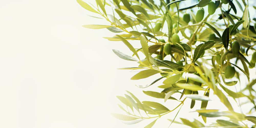 looking up at the sky with olive tree branches and leaves growing prosperously and young green olives ripening