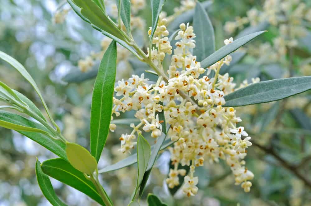 tiny little olive tree flowers growing in clusters waiting to be pollinated with blurry background of olive leaves