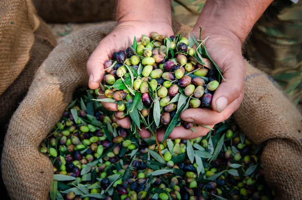 farmers hands holding a bunch of picked olives at different levels of ripeness