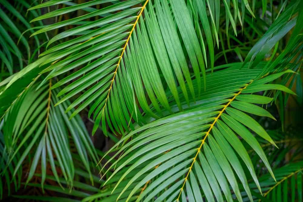 close up image of bright green palm fronds overlapping each other