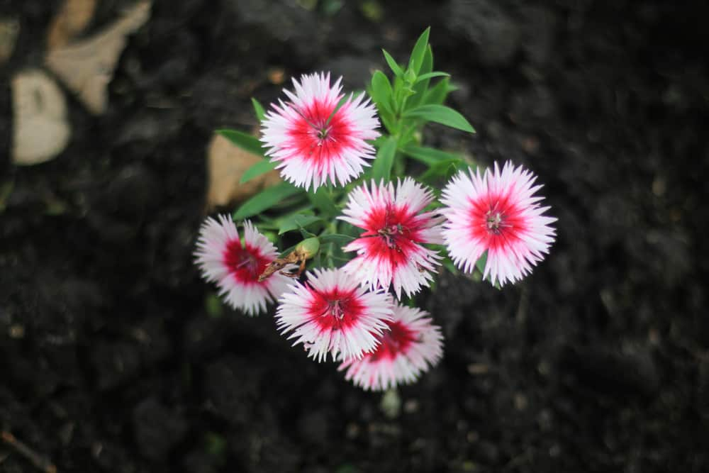 looking down at a bunch of bright red and pink blanket flowers growing in dark soil