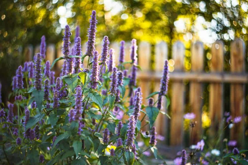 This is a close look at clusters of Agastache Black Adder flowers at a garden.
