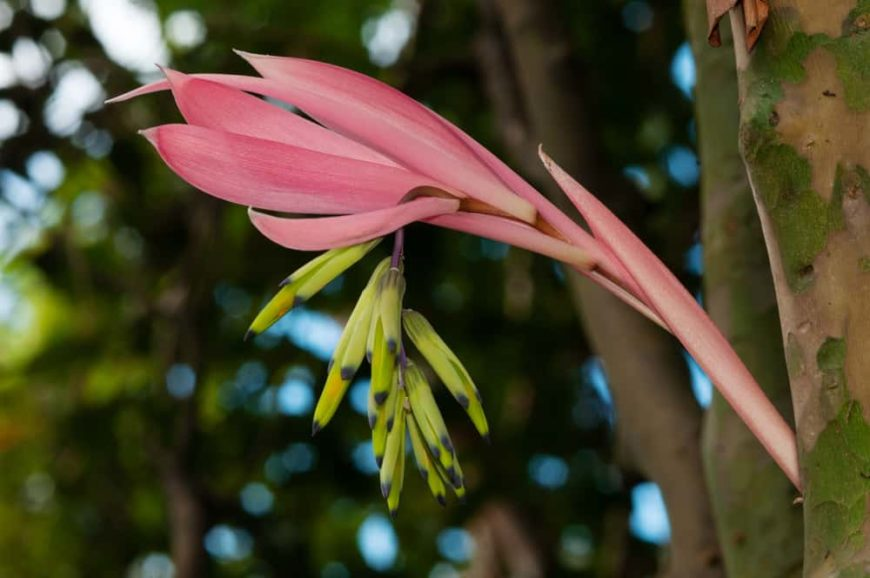 This is a close look at a blooming Billbergia Flower.
