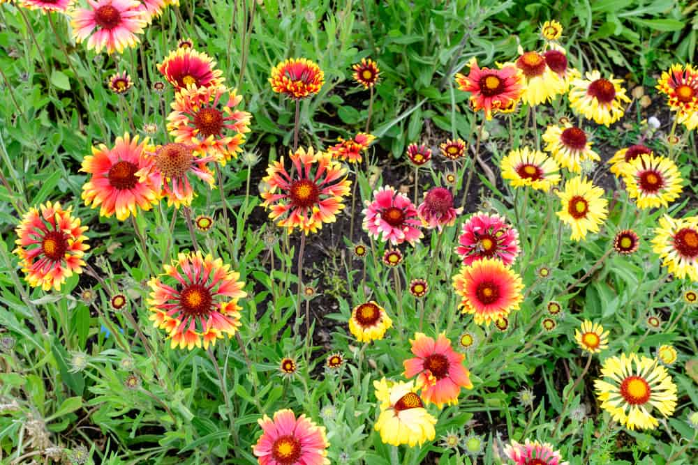 several different types of blanket flowers all growing in the same garden patch