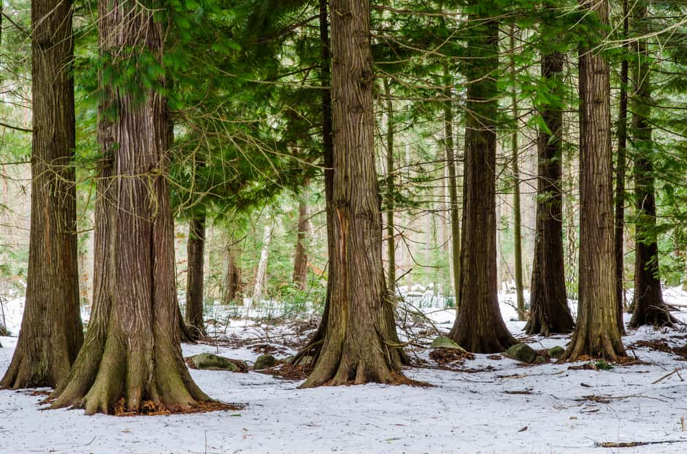 These are the growing western red cedar trees growing in a snowy forest.