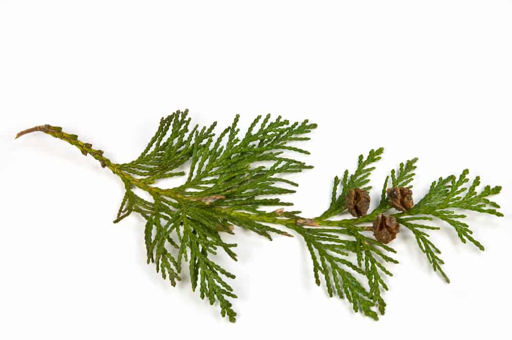 This is a single branch with green scale leaves and mature brown cones of the western red cedar tree isolated on white background.