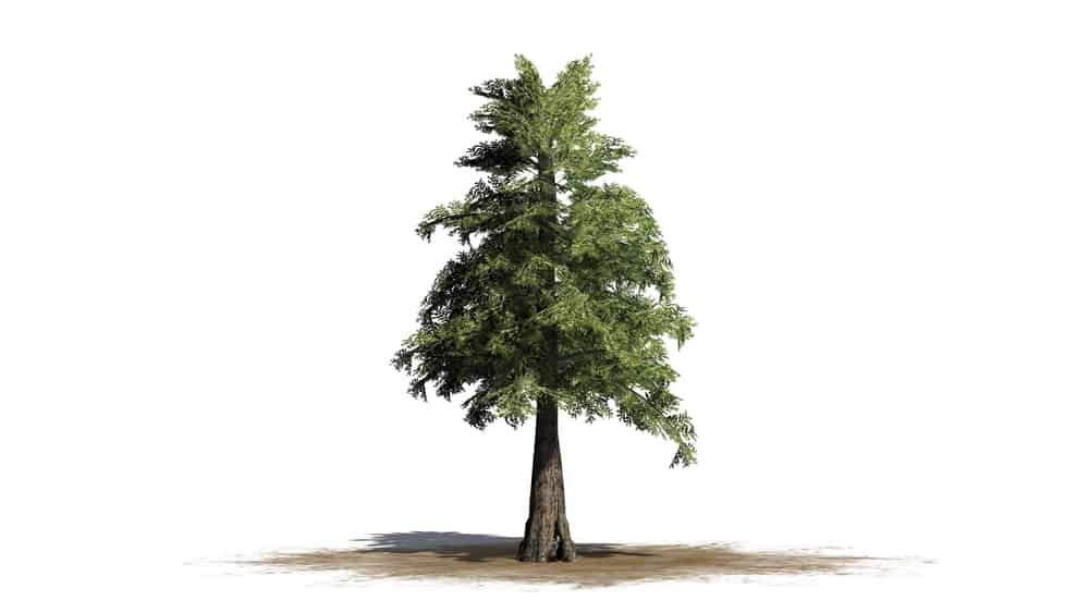 This is an illustration showcasing the dimensions of a western red cedar tree isolated on a white background.