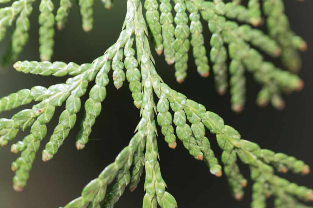 This is a close up view of bright green scale leaves of the western red cedar tree.