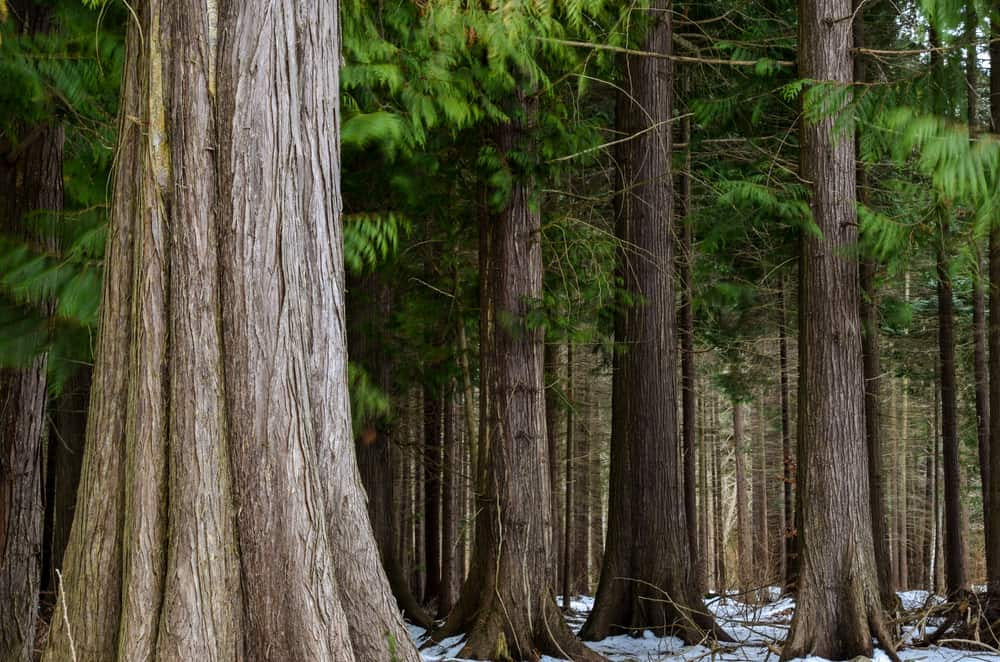 These are the huge and thick trunks of the western red cedar tree all growing in a stand with snow on the ground.