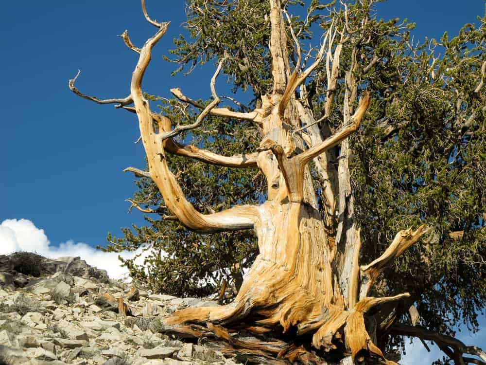 This is a close look at a The Great Basin Bristlecone Pine with gnarled branches and leaves.