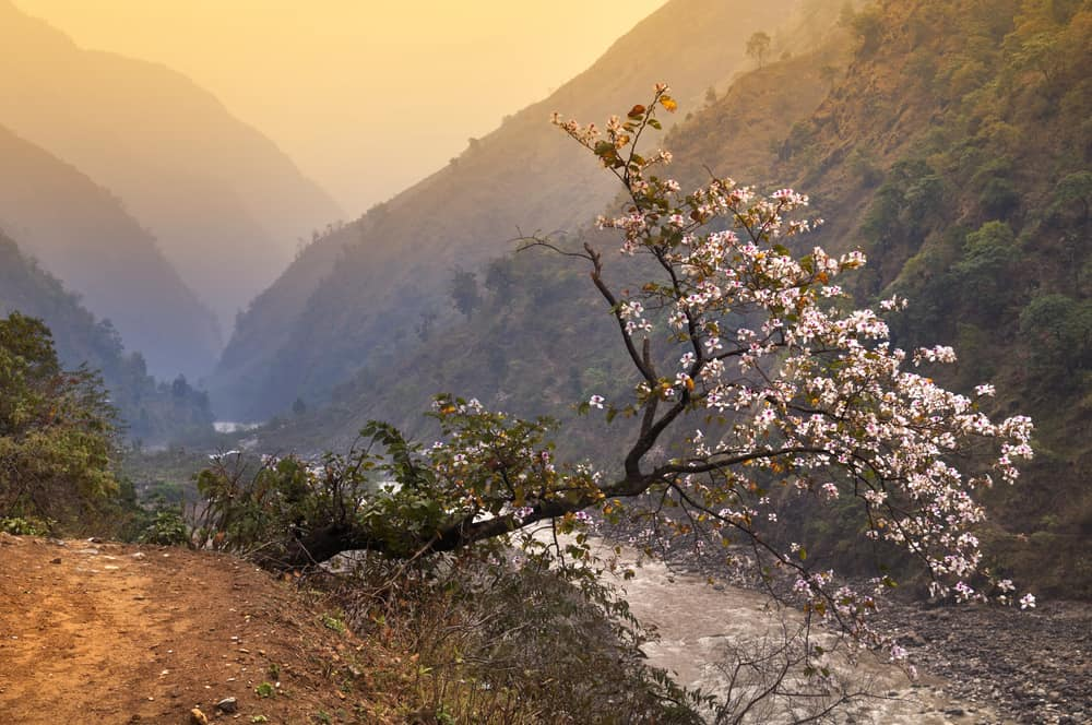 This is a close look at a blooming mountain magnolia tree.