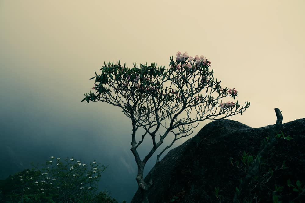This is a close look at a mountain magnolia tree growing on the cliff.