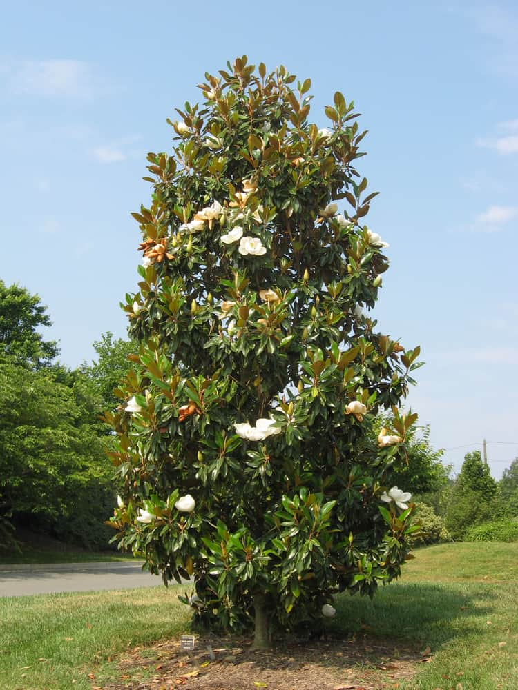 This is a mature Southern Magnolia Tree at a garden.