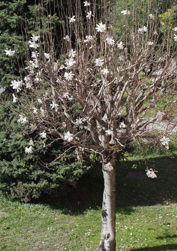 This is a blooming Sweetbay Magnolia Tree in a garden.