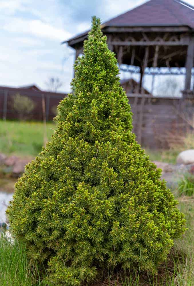 This is a close look at a white spruce tree.