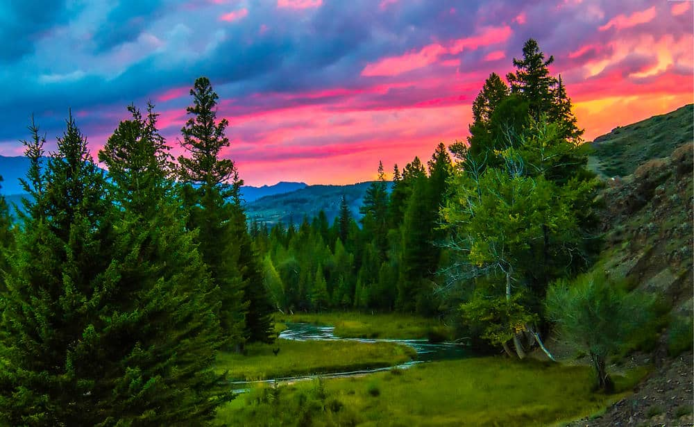 A mountain forest of spruce trees during sunset.