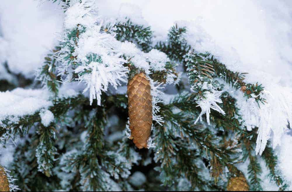 This is a close look at a spruce tree pine cone during winter.