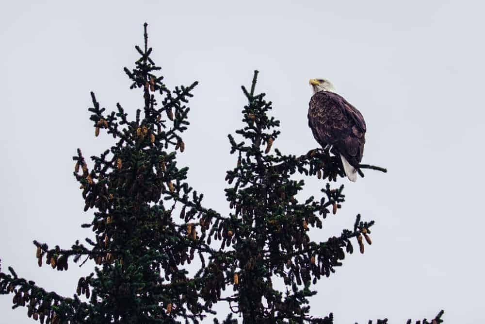 This is a bald eagle perched on top of a spruce tree.