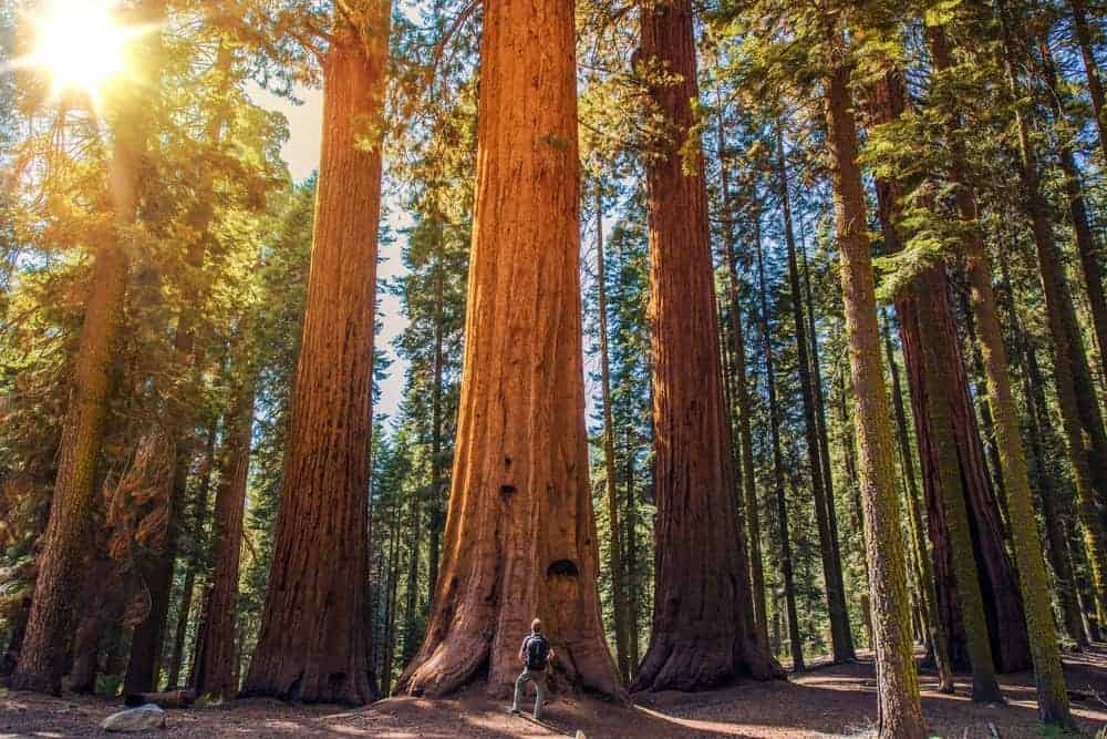 This is a close look at a forest of redwood trees with a man looking up at one tree for scale.