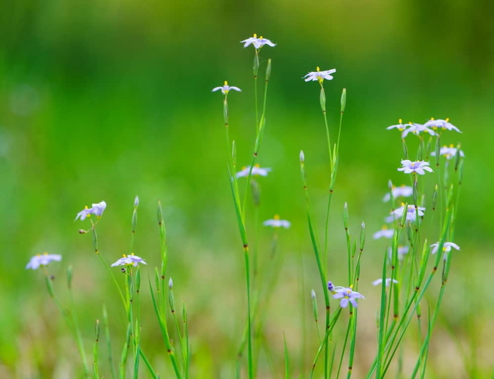 Tall stems of the blue eyed grass plant with small blooming flowers against a blurry green grass background