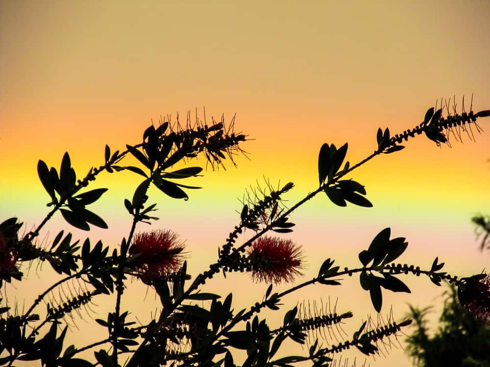 Silhouette of a bottlebrush plant and flowers against a sunset sky