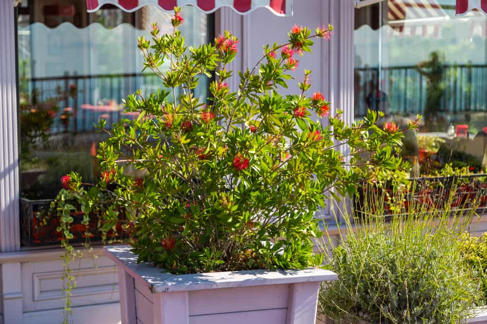 beautiful bottlebrush shrub growing in a planter next to a cafe with red flowers in bloom
