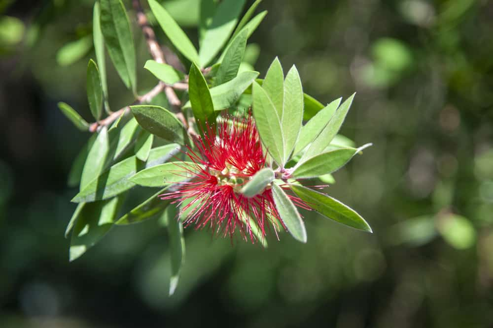 Closer look at bottlebrush leaves growing on a stem shining in the sun