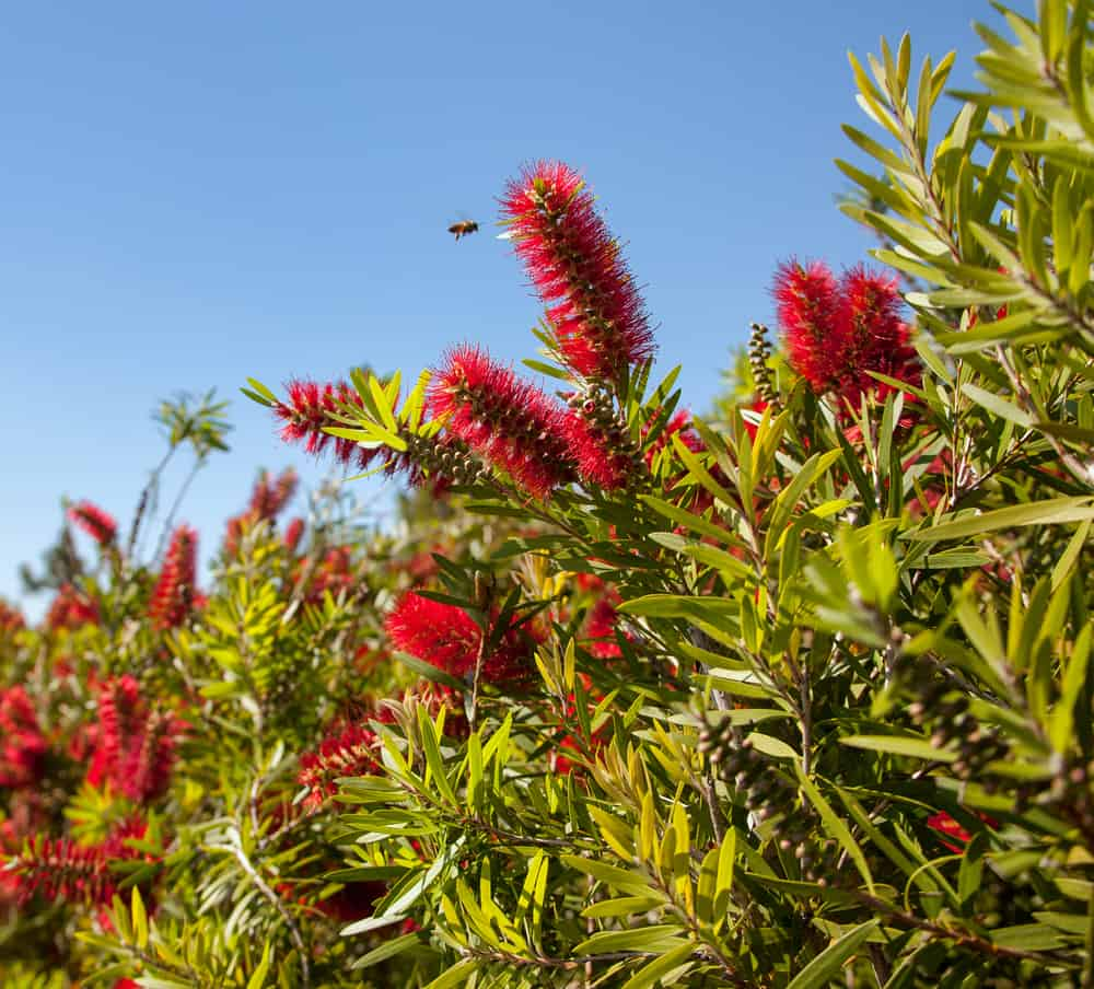 Image of a dense bottlebrush plant in full bloom with a single bee approaching one of the flowers