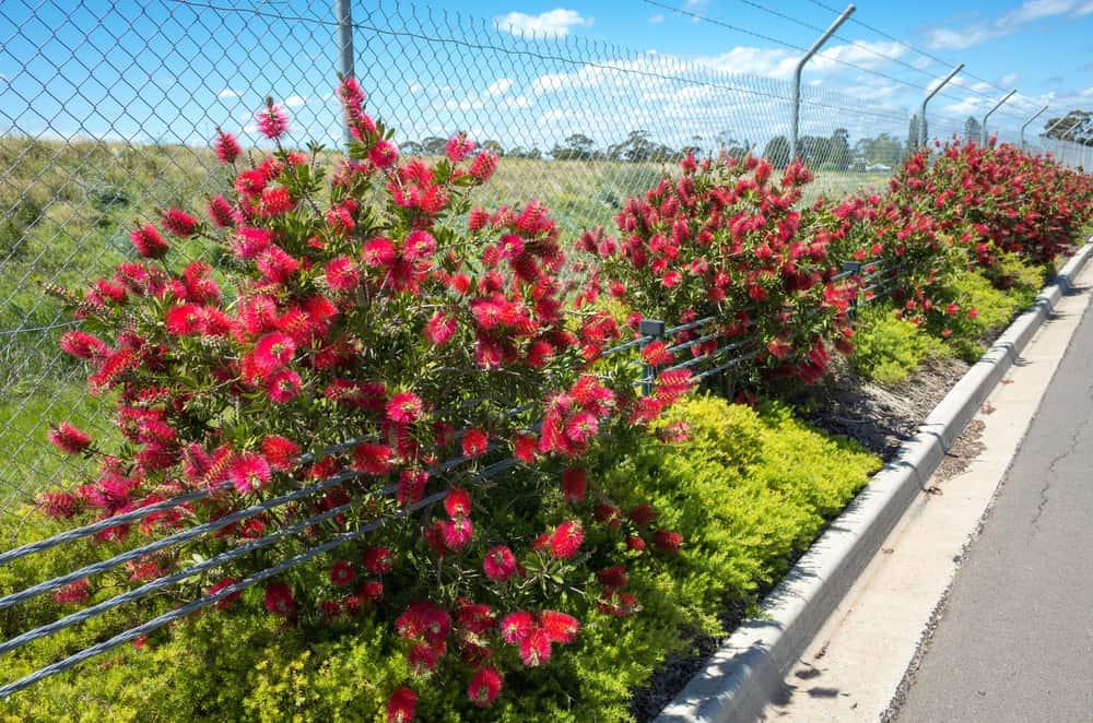 Massive bottlebrush plants growing next to a roadway in full bloom