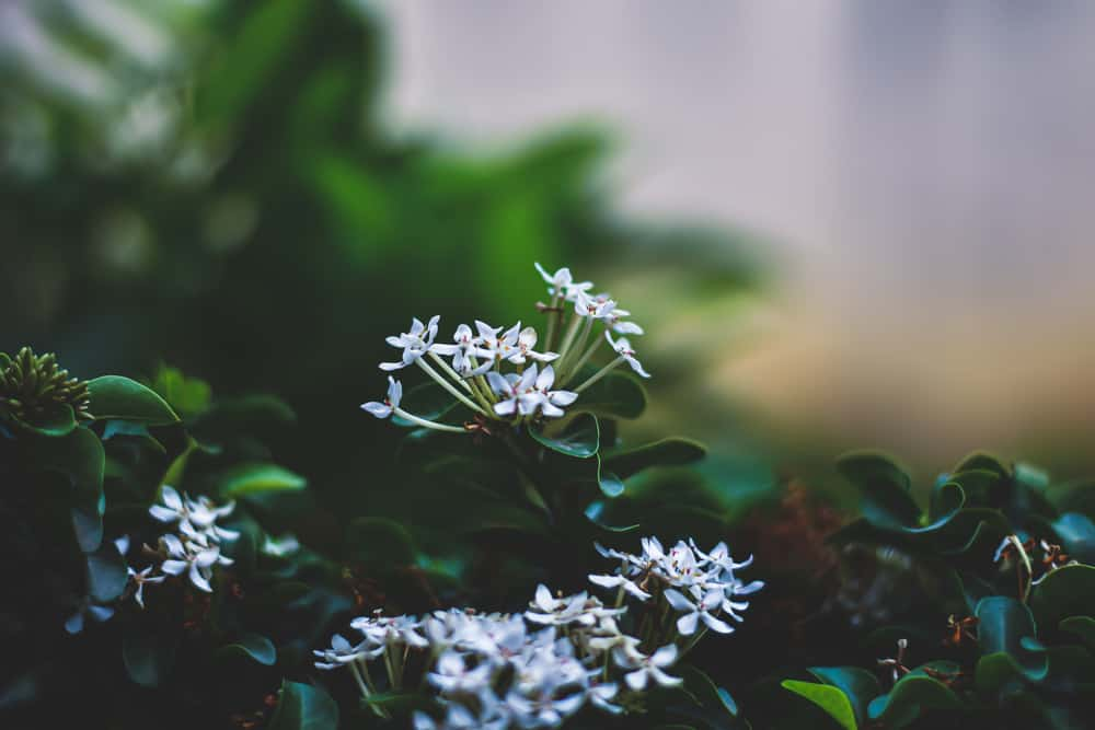 Beautiful small white flowers of the bouvardia plant with dark green leaves
