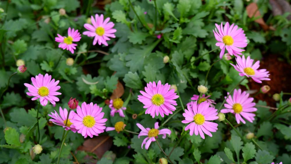 Small pink flowers and dark green leaves of the brachyscome plant