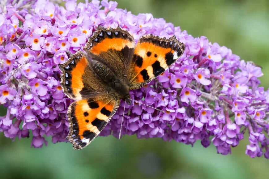 Orange and brown butterfly landed on the purple flowers of a butterfly bush flower spike