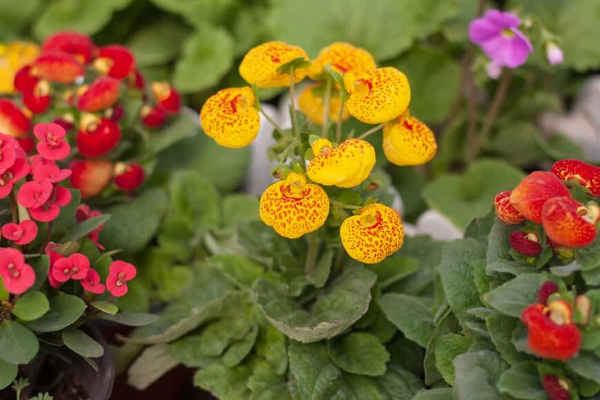 Lovely orange and red calceolaria plants in full bloom growing in a garden
