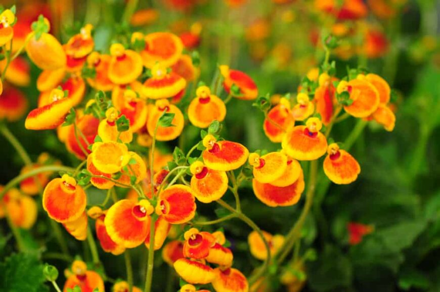 Beautiful yellow and orange flowers of the calceolaria plant grows at the ends of stems with blurry green background
